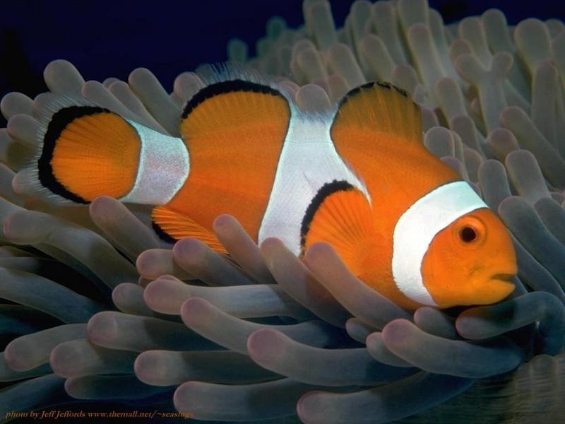 Рыбка Немо или Клоун оцеллярис