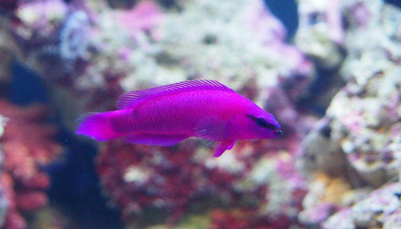 Ложнохромис Фридмана или Псевдохромис фиолетовый